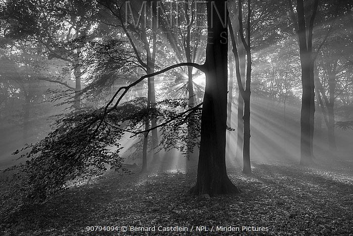 Beech woodland (Fagus sylvatica) with sun rays shining through, black and white image.  Peerdsbos, Brasschaat, Belgium