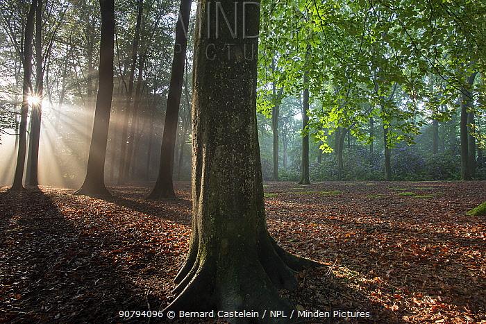 Beech wood (Fagus sylvatica)  Peerdsbos, Brasschaat, Belgium