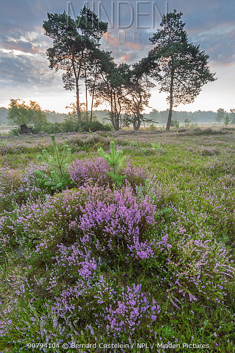 Heather (Calluna vulgaris) at dawn, with distant Klein Schietveld, Brasschaat, Belgium