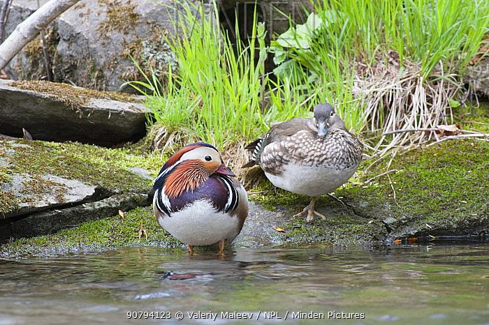 Mandarin duck (Aix galericulata) male female pair, Vladivostock, Primorsky Krai, Far East Russia. May.