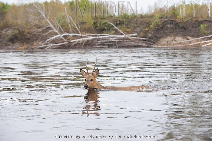 Siberian roe deer (Capreolus pygargus) buck swimming across water, Amur, Far East Russia. September.
