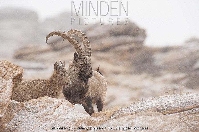 Siberian ibex (Capra sibirica)  Altai Mountains, Gobi Desert, Mongolia. November.