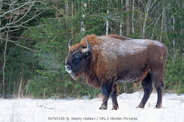 European bison (Bison bonasus) in snow, Bryansk, Central Federal District, Russia. January.