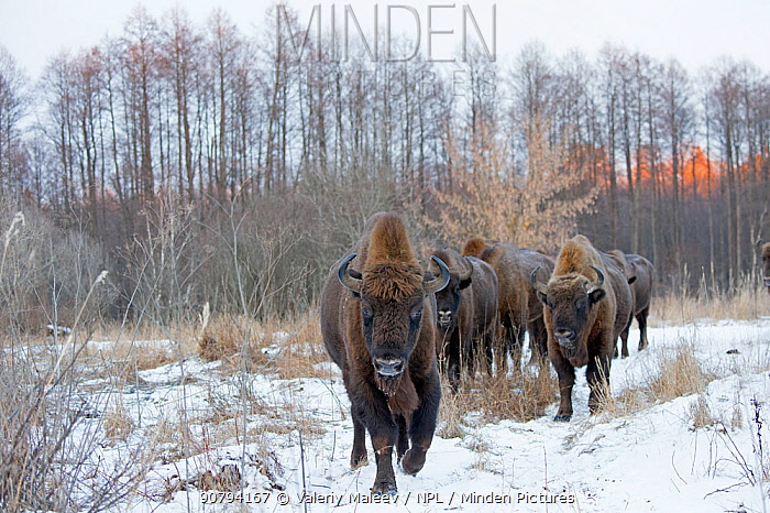 European bison (Bison bonasus) herd in snow, Bryansk, Central Federal District, Russia. January.