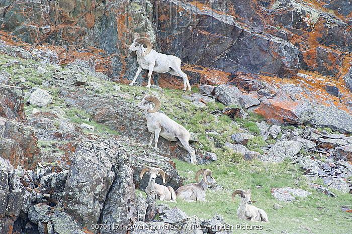 Altai argali sheep (Ovis ammon ammon) Altai Mountains, Mongolia. June.