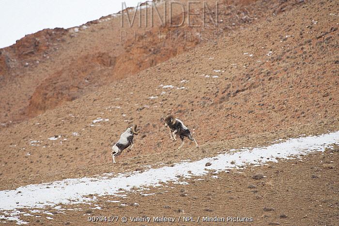 Altai argali sheep (Ovis ammon ammon) males fighting, Altai Mountains, Mongolia. October.