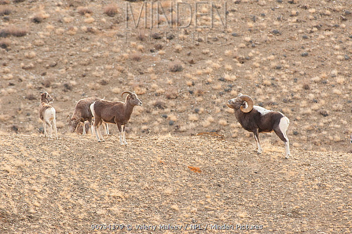 Altai argali sheep (Ovis ammon ammon) Altai Mountains, Mongolia. November.