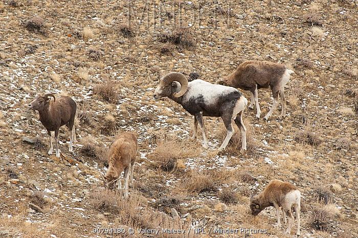 Altai argali sheep (Ovis ammon ammon) herd, Altai Mountains, Mongolia. November.