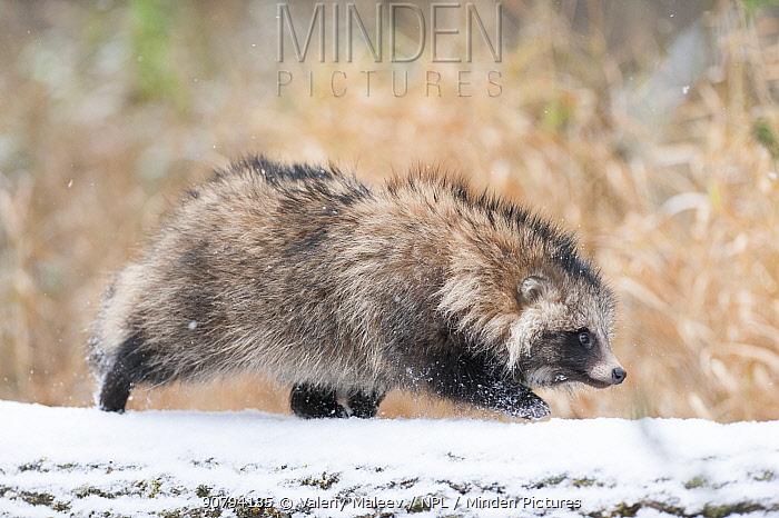 Raccoon dog (Nycterentes procyonoides) Vladivostok, Primorsky Krai, Far East Russia. October.