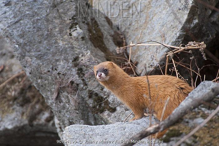 Siberian weasel (Mustela sibirica) on rocks, Khabarovsk, Far East Russia.  March.