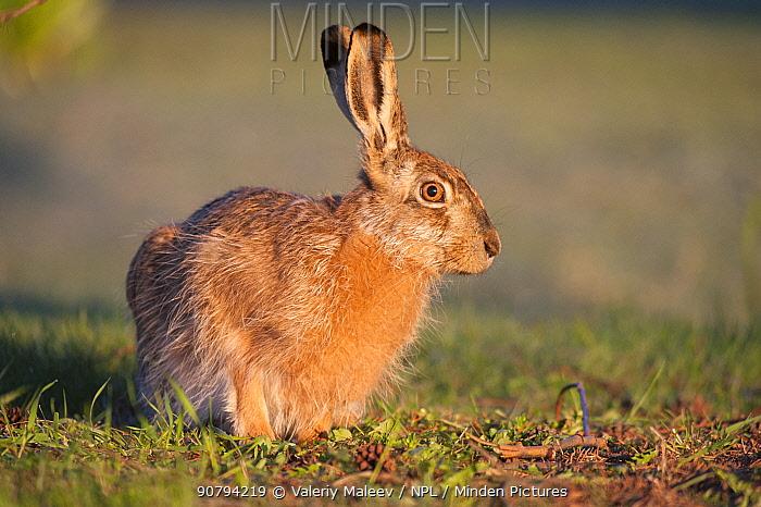 European hare (Lepus europaeus) Moscow, Russia.  May.