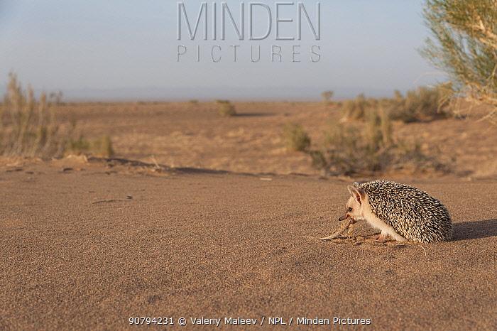Long-eared hedgehog (Hemiechinus auritus) Gobi Desert, Mongolia. May.