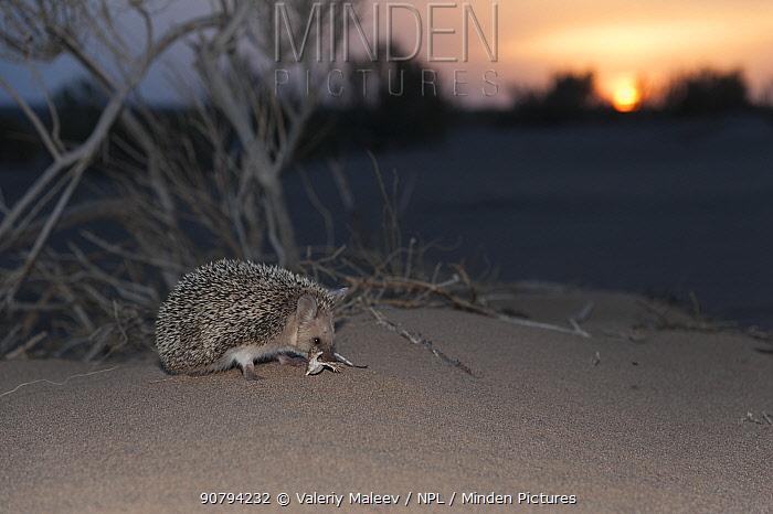 Long-eared hedgehog (Hemiechinus auritus) at sunset, Gobi Desert, Mongolia. May.