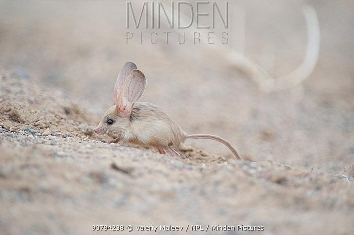Long-eared jerboa (Euchorentes naso) South Gobi Desert, Mongolia. June.