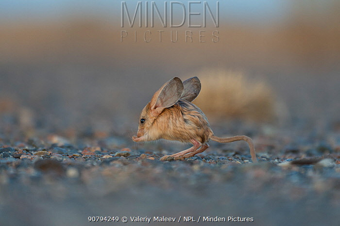 Long-eared jerboa (Euchorentes naso) South Gobi Desert, Mongolia. June.