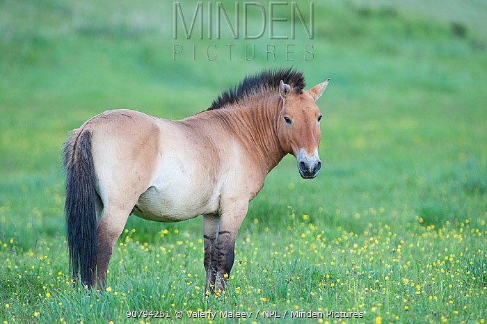 Przewalski horse's (Equus ferus przewalski) Khustain Nuruu National Park, Mongolia. June.