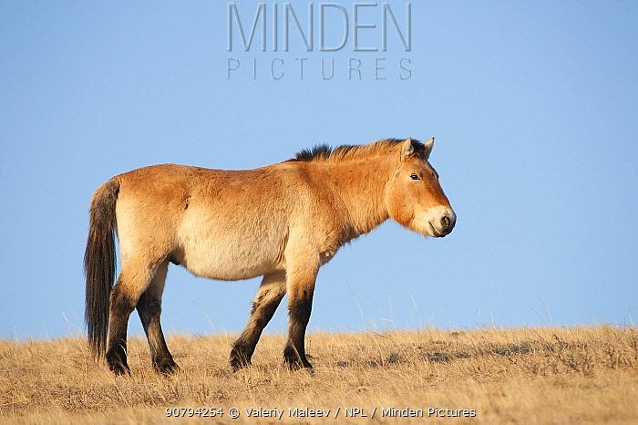 Przewalski horse (Equus ferus przewalski) Khustain Nuruu National Park, Mongolia. March.