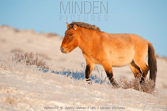 Przewalski horse (Equus ferus przewalski) Khustain Nuruu National Park, Mongolia. December.
