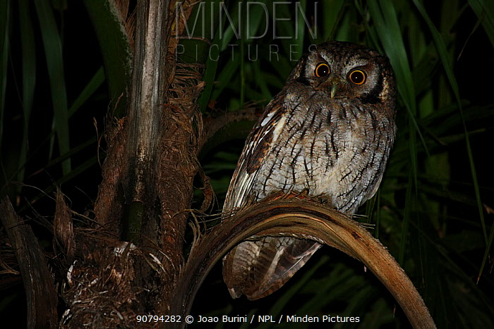 Tropical screech owl (Megascops choliba), Intervales State Park, Sao Paulo, Atlantic Forest South-East Reserves, UNESCO World Heritage Site, Brazil.