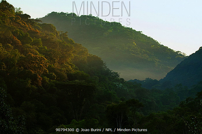 Atlantic rainforest in mist, Intervales State Park, Sao Paulo, Atlantic Forest South-East Reserves, UNESCO World Heritage Site, Brazil.