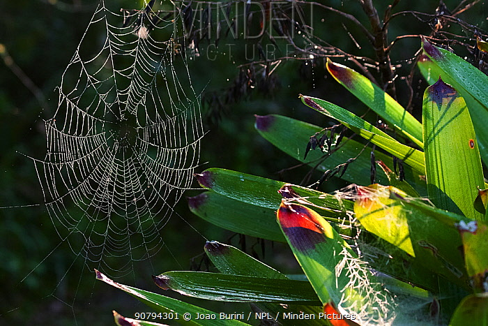 Spider webs on Bromeliad (Bromeliaceae sp), webs covered with dew droplets, Intervales State Park, Sao Paulo, Atlantic Forest South-East Reserves, UNESCO World Heritage Site, Brazil.