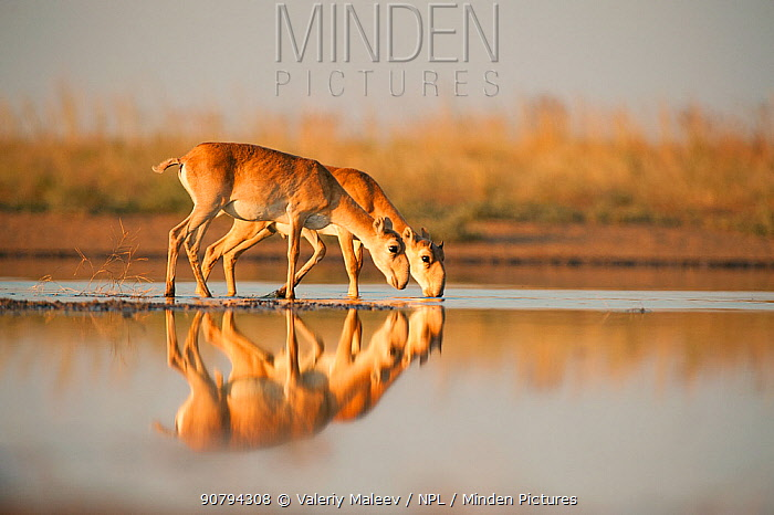 Saiga antelope (Saiga tatarica) drinking, Astrakhan, Southern Russia, Russia. Critically endangered species. October.