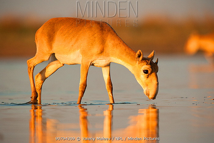 Saiga antelope (Saiga tatarica) drinking Astrakhan, Southern Russia, Russia. Critically endangered species. October.