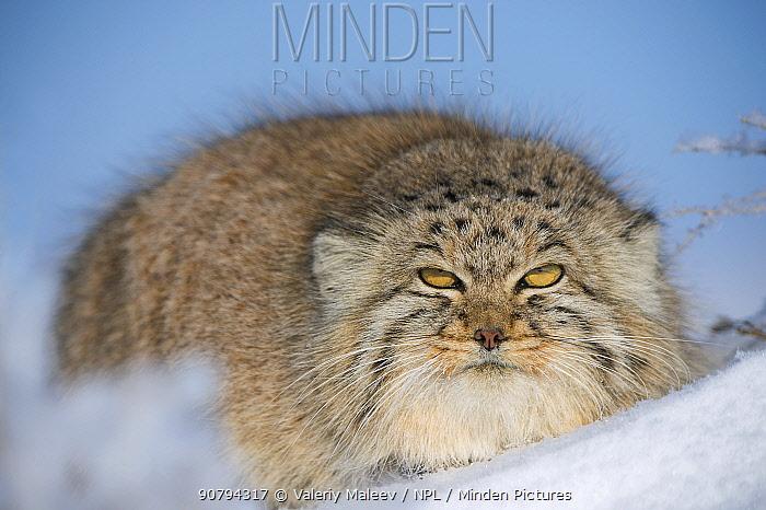 Pallas's cat (Otocolobus manul) in snow, Gobi Desert, Mongolia. December.