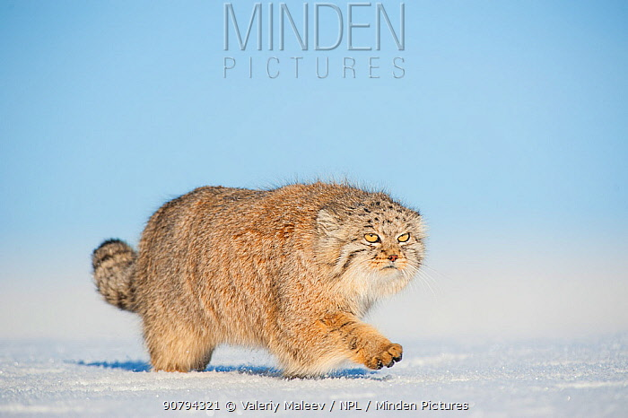 Pallas's cat (Otocolobus manul) walking in snow, Gobi Desert, Mongolia. December.