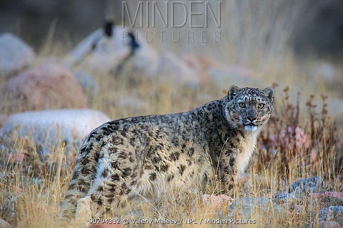 Snow leopard (Uncia uncia) Altai Mountains, Mongolia. April.