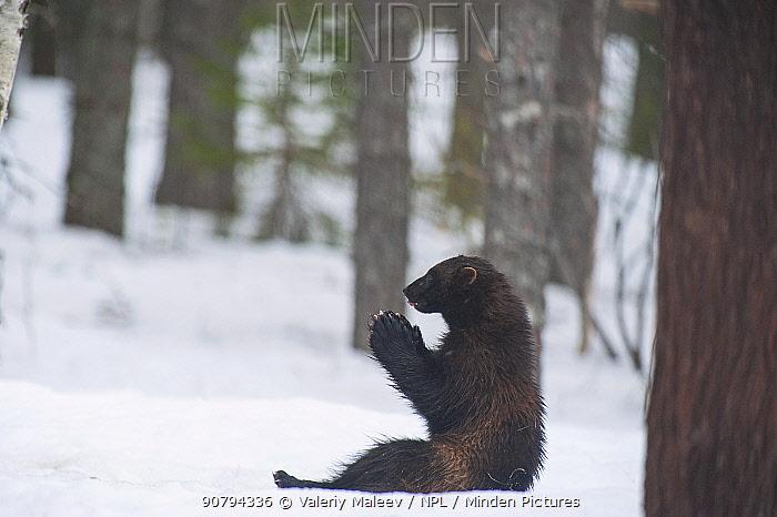 Wolverine (Gulo gulo) in snow, Finland. April.