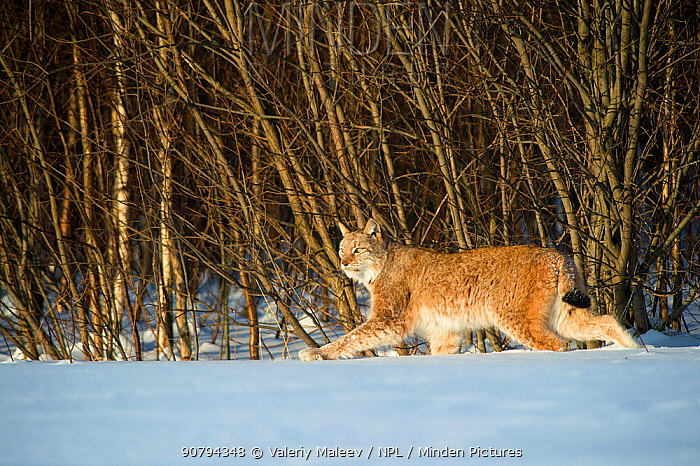 Eurasian lynx (Lynx lynx) walking in snow, Yaroslavl, Central Federal District, Russia. February.