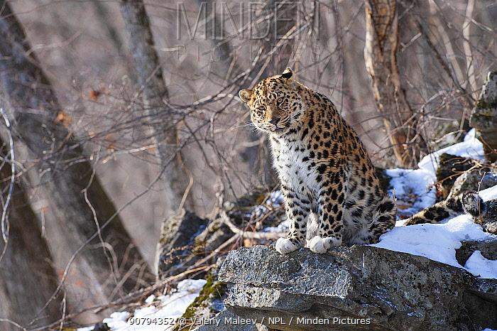 Amur leopard (Panthera pardus orientalis) Land of the Leopard National Park, Primorsky Krai, Far East Russia. February.