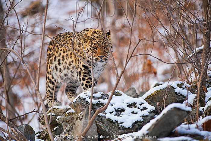 Amur leopard (Panthera pardus orientalis) Land of the Leopard National Park, Primorsky Krai, Far East Russia. March.