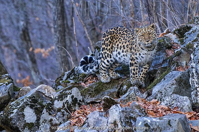 Amur leopard (Panthera pardus orientalis) Land of the Leopard National Park, Primorsky Krai, Far East Russia. March.