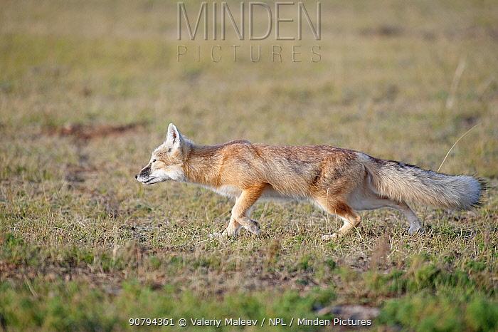 Corsac fox (Vulpes corsac) Mongolia September.