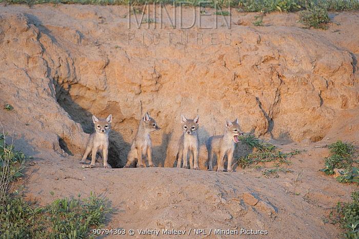 Corsac fox (Vulpes corsac) kits at den, Mongolia May.