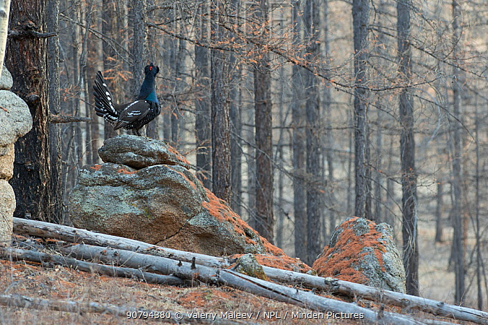 Black-billed capercaillie (Tetrao urogalloides) calling, Mongolia April.