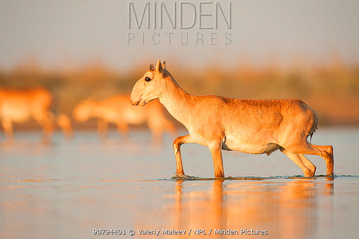 Saiga antelope (Saiga tatarica) crossing water, with horns growing, Astrakhan, Southern Russia, Russia. October.