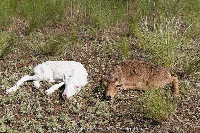 Saiga antelope (Saiga tatarica) albino and normal fawn, Astrakhan, Southern Russia, Russia. May.