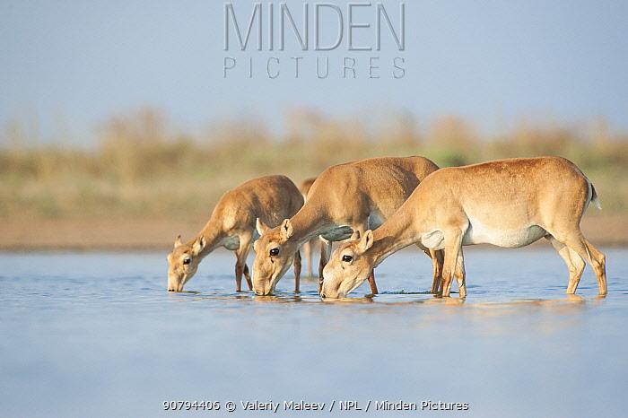 Saiga antelope (Saiga tatarica) three drinking, Astrakhan, Southern Russia, Russia. October.