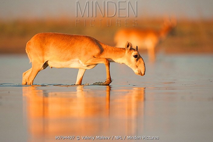 Saiga antelope (Saiga tatarica) male with horns growing, walking through water, Astrakhan, Southern Russia, Russia. October.