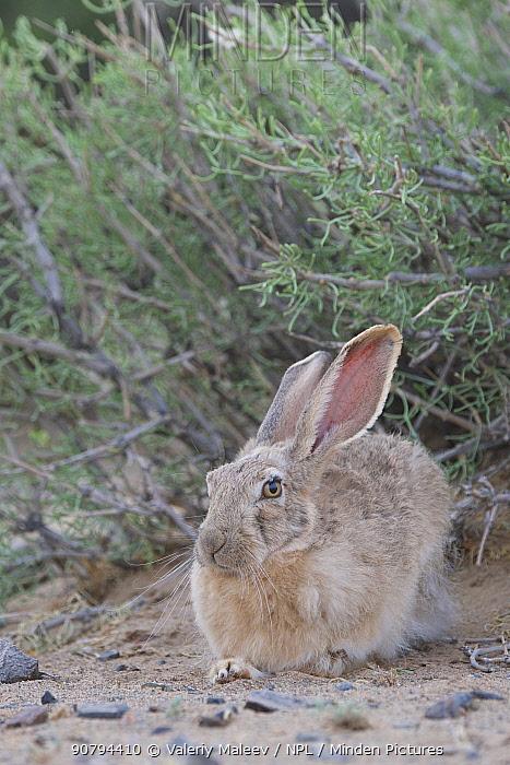 Tolai hare (Lepus tolai) Gobi Desert, Mongolia. June.