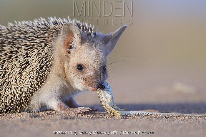 Long-eared hedgehog (Hemiechinus auritus) feeding on lizard prey, Gobi Desert, Mongolia. May.