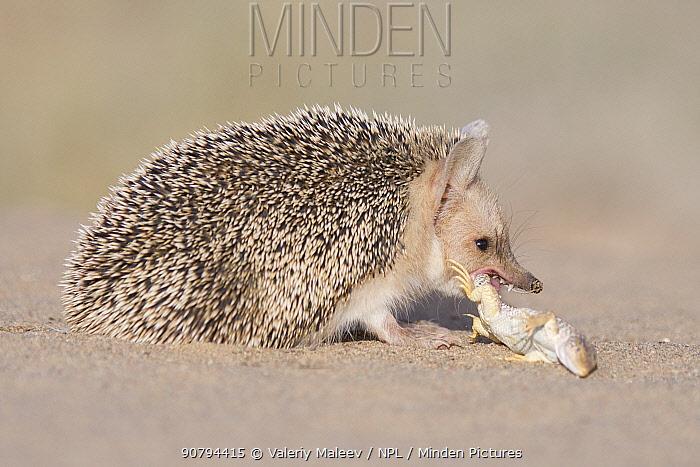 Long-eared hedgehog (Hemiechinus auritus) feeding on lizard prey, Gobi Desert, Mongolia. June.