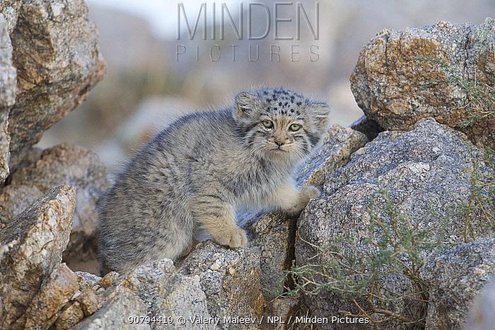 Pallas cat kitten  (Otocolobus manul) Sukhe-Batar Aimag, South Gobi Desert, Mongolia.  June.