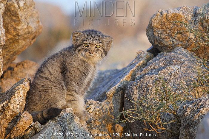 Pallas cat kittens  (Otocolobus manul) Sukhe-Batar Aimag, South Gobi Desert, Mongolia.  June.