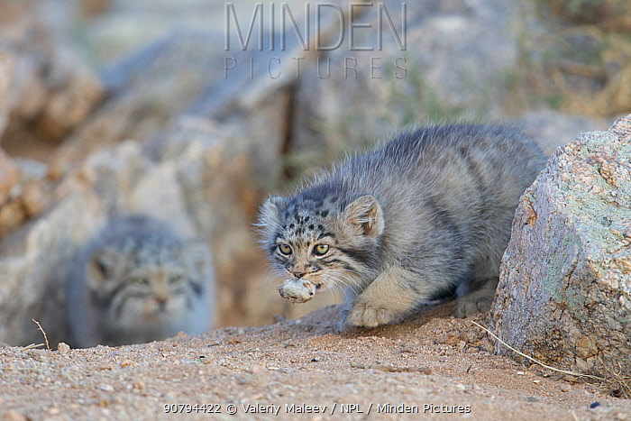 Pallas cat kittens  (Otocolobus manul) one with rodent head, Sukhe-Batar Aimag, South Gobi Desert, Mongolia.  June.