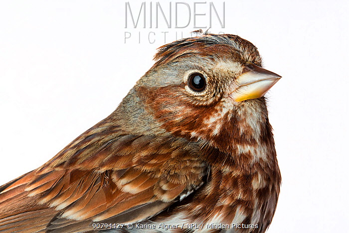 Portrait of a Fox sparrow (Passerella iliaca) with white background,  Block island, Rhode Island, USA. Bird caught during scientific research.