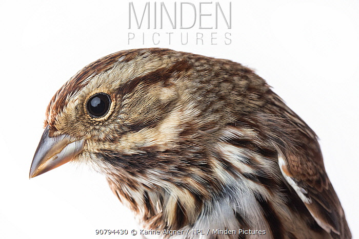 Portrait of a Song sparrow (Melospiza melodia) with white background,  Block island, Rhode Island, USA. Bird caught during scientific research.